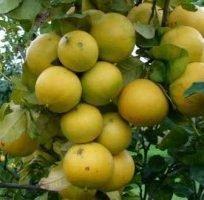 bergamotto riduce il colesterolo